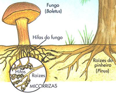 Figura mostrando como as micorrizas se associam às raízes das plantas