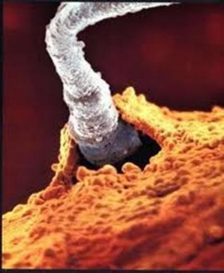 A fecundação corresponde à penetração do espermatozoide no óvulo e à união dos núcleos dos dois gametas, com a consequente formação do zigoto