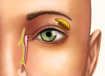 As glândulas lacrimais lançam suas secreções por meio de ductos, sendo, portanto, glândulas exócrinas