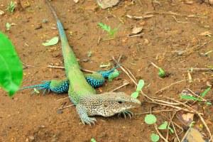 Ameiva ameiva: espécie de lagarto pertencente à Ordem Squamata.