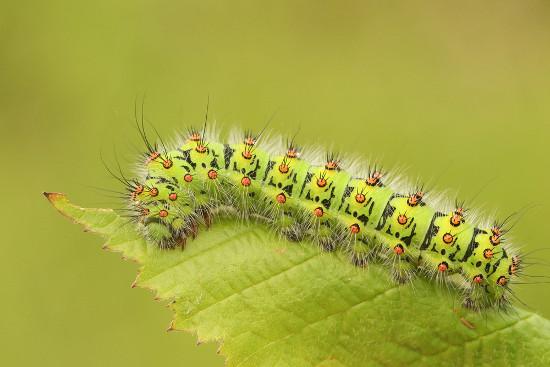 A lagarta é um animal herbívoro, portanto é um consumidor primário
