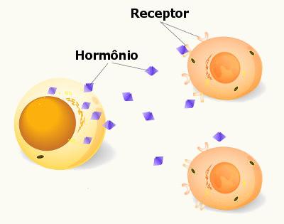 Os hormônios agem apenas em tecidos e órgãos específicos