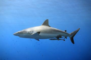 A rêmora fixa-se por ventosas no corpo do tubarão e alimenta-se dos restos deixados por ele