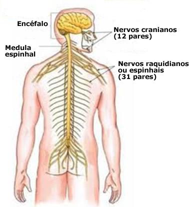 O sistema nervoso periférico é constituído pelos nervos cranianos e pelos nervos raquidianos