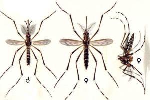 Morfologia do mosquito transmissor da dengue e febre amarela: Aedes aegypti.
