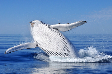 As baleias-jubartes migram para o Brasil para se reproduzirem