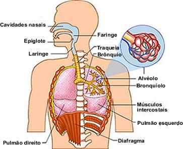 O ar penetra através do nariz, passando pela faringe, laringe, traqueia, brônquios e bronquíolos até chegar aos alvéolos pulmonares