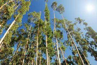 O eucalipto é uma das vegetações que mais emitem hidrocarbonetos não metânicos para a atmosfera