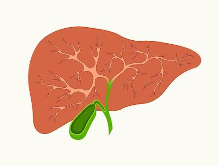 A vesícula biliar apresenta como função principal armazenar a bile