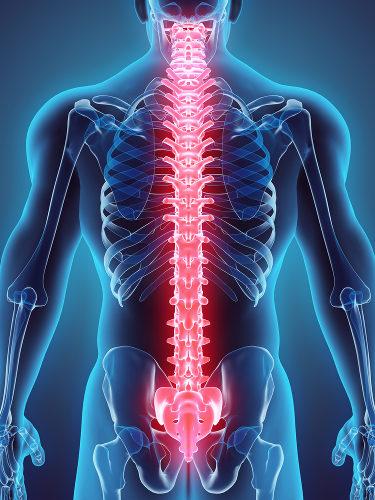 A coluna vertebral funciona como um eixo de sustentação