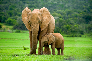 Os elefantes são animais herbívoros, pois se alimentam de vegetais
