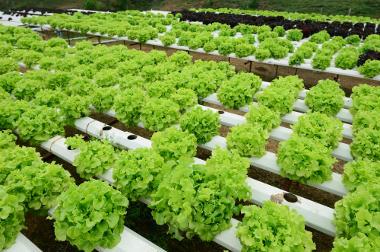 Produção orgânica em série de alface