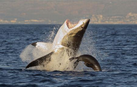 O tubarão-branco tem uma mordida extremamente forte
