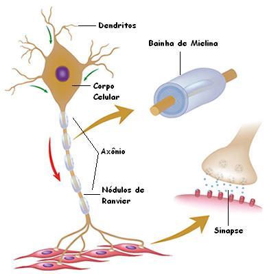 Esquema de um neurônio. Detalhe da região da sinapse e bainha de mielina