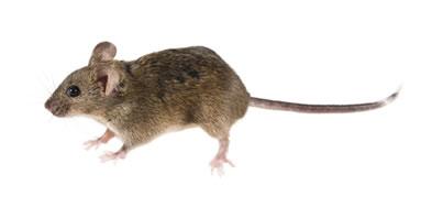 Os alelos letais foram descobertos através de testes com camundongos