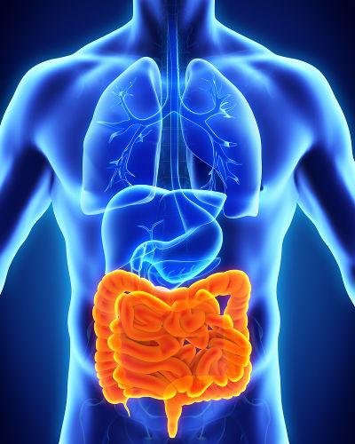 O mesentério garante a sustentação do intestino e liga-o à cavidade abdominal