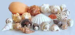 Os moluscos são animais de corpo mole, protegidos por uma concha calcária