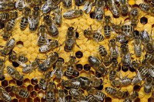 Dentre as populações de abelhas, alguns indivíduos são formados por partenogênese.