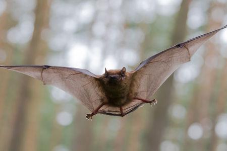 Os morcegos apresentam uma visão pouco desenvolvida e possuem hábitos noturnos