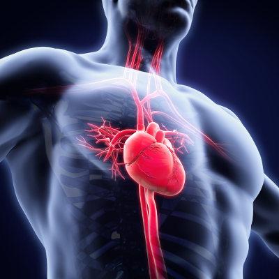 O sistema cardiovascular garante o transporte de sangue por todo o corpo