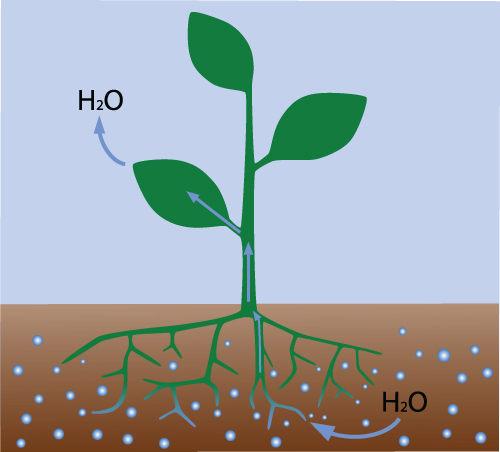 A transpiração promove a movimentação de água pelo corpo da planta