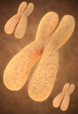 A cromatina sexual é encontrada nas células das fêmeas dos mamíferos