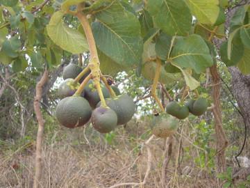 O pequizeiro é uma planta típica do Cerrado