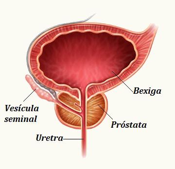 Observe a estrutura e a localização da próstata