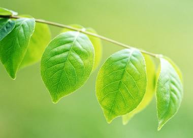 A folha é um órgão da planta especializado na realização da fotossíntese
