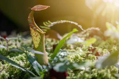 As <em>Nepenthes </em> possuem folhas em forma de urna que são utilizadas para capturar principalmente insetos