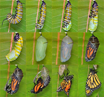 Observe as mudanças que ocorrem no corpo da borboleta desde a sua fase larval até a fase adulta