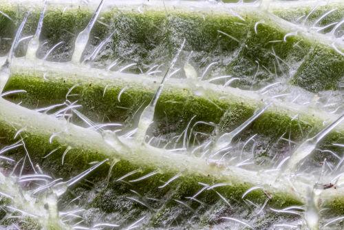 Tricomas atuam de diferentes formas no vegetal, protegendo-o contra herbivoria (relação ecológica em que um ser vivo alimenta-se de um vegetal)