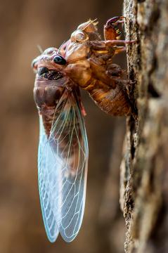 As cigarras, assim como os outros insetos, realizam a troca do seu esqueleto externo para crescerem