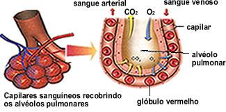 A hematose ocorre nos alvéolos pulmonares, que são formados por uma fina camada de células envolvidas por uma rede de capilares