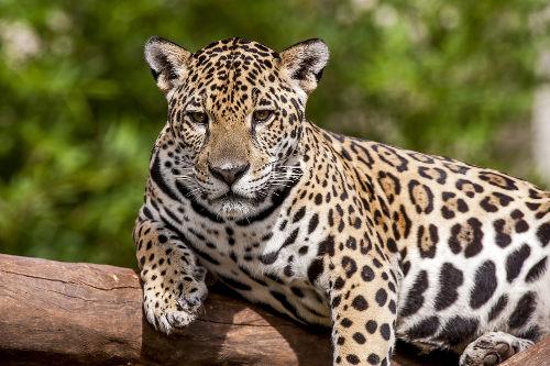 A onça-pintada é o único representante do gênero Panthera no nosso continente