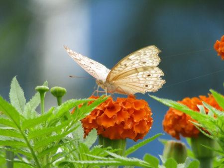 As borboletas são insetos, exemplos de artrópodes do grupo dos pancrustáceos