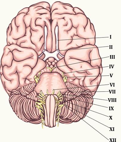 Existem 12 pares de nervos que fazem ligação direta com o encéfalo