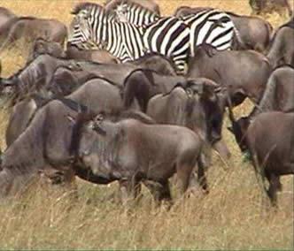 A superpopulação representada pelas manadas de bisões (Bison bonasus).