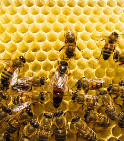 As abelhas são animais capazes de viver em sociedade