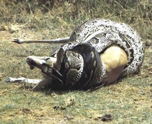 Cobra alimentando-se de outro animal, um exemplo de predação