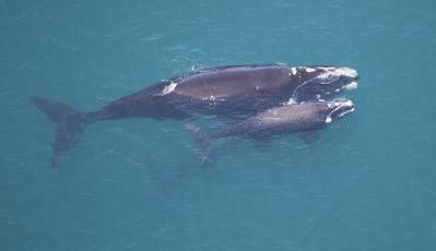 As baleias francas são um exemplo de cetáceos misticetos