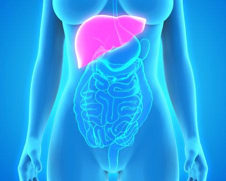 O fígado está localizado na cavidade abdominal, abaixo do diafragma