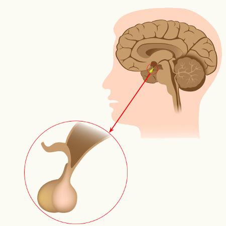A hipófise é formada pela neuro-hipófise e pela adeno-hipófise