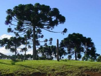 Mata de Araucárias: bioma presente no Paraná