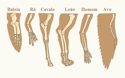 Observe diferentes estruturas que apresentam organização anatômica bastante semelhante.