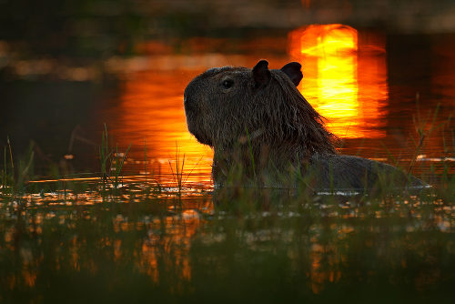 A capivara é um animal que vive sempre próximo a ambiente aquático