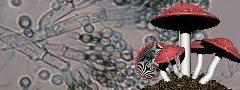 Fungo do Gênero Penicillium, visto ao microscópio, e cogumelo Amanita phalloides.