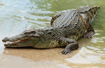 Observe o formato afilado do focinho do crocodilo