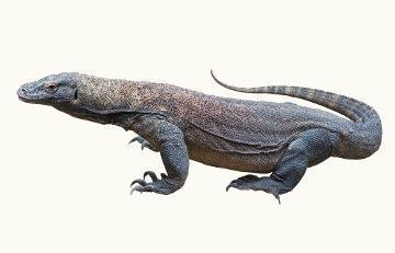 O Dragão-de-komodo está classificado na Lista Vermelha da IUCN como vulnerável