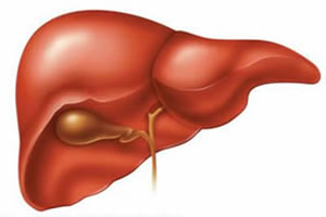 Estrutura anatômica do fígado, associada à vesícula biliar.